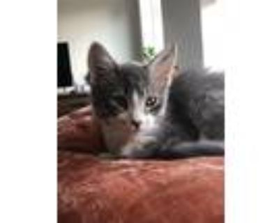 Adopt Diego a Gray or Blue (Mostly) Domestic Mediumhair cat in Minneapolis
