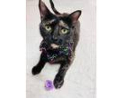 Adopt Ms Match a All Black Domestic Shorthair / Domestic Shorthair / Mixed cat