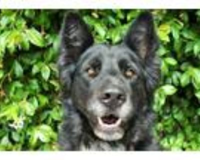 Adopt INA a Black - with White Border Collie / German Shepherd Dog / Mixed dog