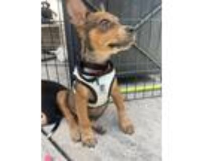 Adopt The Flying Dutchman a Brown/Chocolate Blue Heeler / Feist dog in