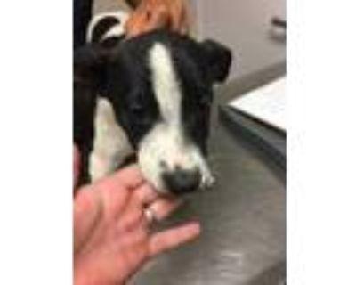 Adopt 48239047 a White American Pit Bull Terrier / German Shepherd Dog / Mixed