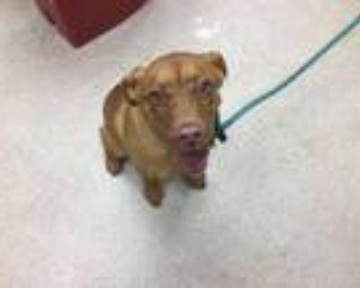 Adopt LUCY a Labrador Retriever, Mixed Breed