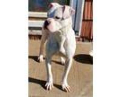 Adopt Marmalade a White - with Brown or Chocolate Boxer / American Pit Bull