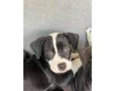 Adopt Zaine a Black - with White Pit Bull Terrier / Mixed Breed (Medium) / Mixed