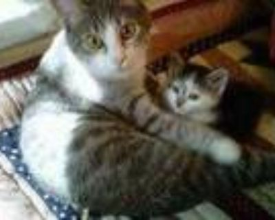 Adopt Penny a Gray or Blue Domestic Shorthair / Domestic Shorthair / Mixed cat
