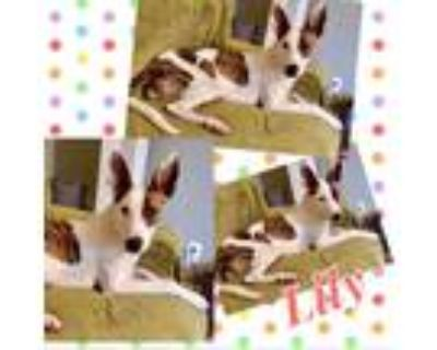 Adopt Lilly a White - with Tan, Yellow or Fawn Blue Heeler / Mixed dog in El