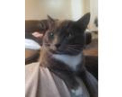 Adopt Toby a Gray or Blue Russian Blue / Mixed cat in Salem, OR (31160454)