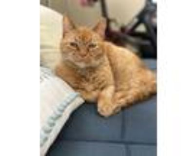 Adopt Martin Luther Kitty a Orange or Red American Bobtail / Mixed (medium coat)