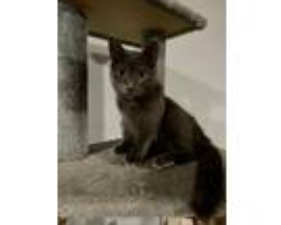 Adopt Mayor Augustus a Gray or Blue Domestic Shorthair / Mixed cat in