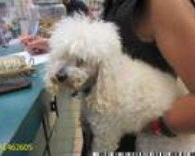 Adopt ANGEL a White Poodle (Toy or Tea Cup) / Mixed dog in West Palm Beach