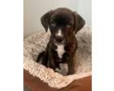 Adopt Cooper 3 Bailey a Hound (Unknown Type) / Pit Bull Terrier / Mixed dog in