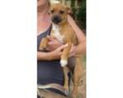 Adopt Paisley a Tan/Yellow/Fawn Pug / Beagle / Mixed dog in Chester Springs