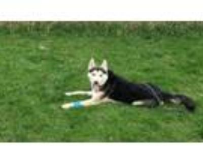 Adopt Foxxy a Siberian Husky