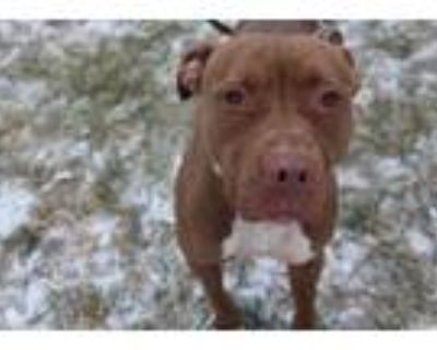 Adopt Lola a Red/Golden/Orange/Chestnut - with White American Pit Bull Terrier /