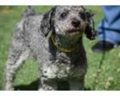 Adopt Cody a Gray/Blue/Silver/Salt & Pepper Poodle (Toy or Tea Cup) / Mixed dog