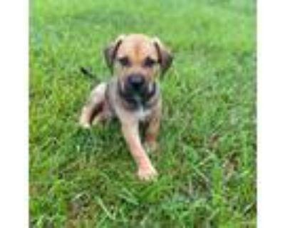 Adopt Hampton a Labrador Retriever, German Shepherd Dog