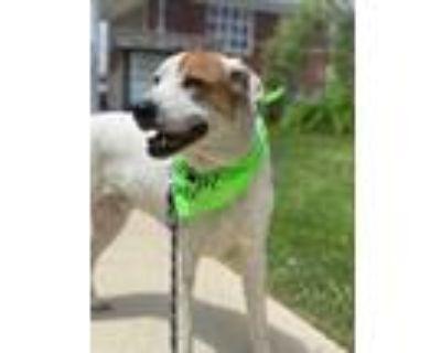 Adopt Ace a White Pointer / Mixed dog in Morton Grove, IL (31348937)
