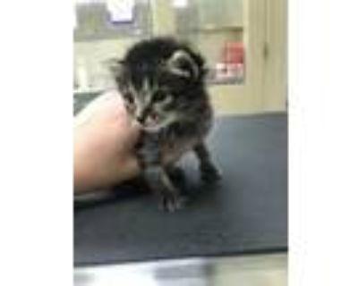 Adopt 47924917 a All Black Domestic Shorthair / Domestic Shorthair / Mixed