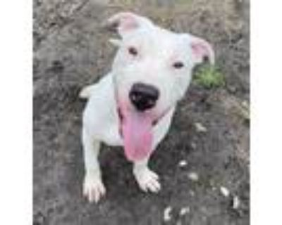 Adopt Kevin a Pit Bull Terrier