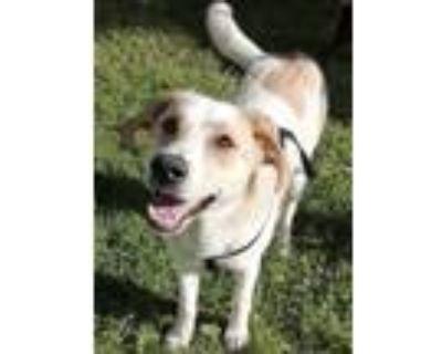 Adopt Astra a Labrador Retriever, Shepherd