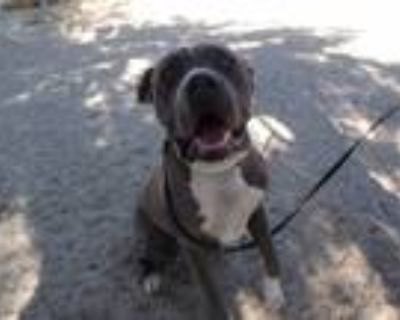 Adopt Odie a Brown/Chocolate - with White Pit Bull Terrier / Mastiff / Mixed dog