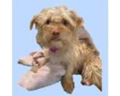 Adopt *CORNFLAKE a Tan/Yellow/Fawn Terrier (Unknown Type