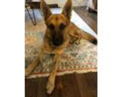 Adopt Zane a Tricolor (Tan/Brown & Black & White) German Shepherd Dog / Mixed