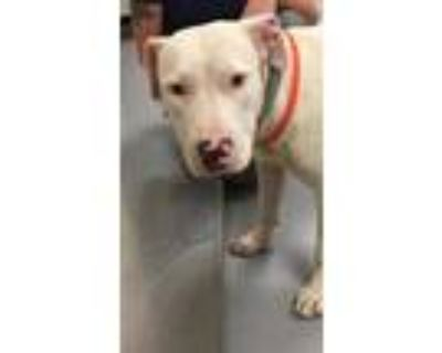 Adopt 48260983 a White American Pit Bull Terrier / Mixed dog in Los Lunas