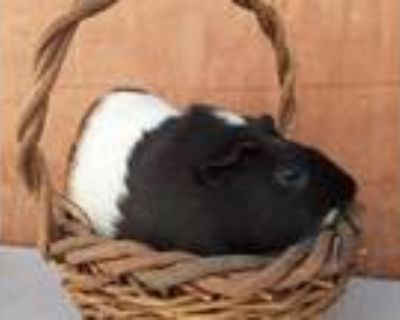 Adopt MATCHA a Black Guinea Pig / Mixed small animal in Van Nuys, CA (32138113)