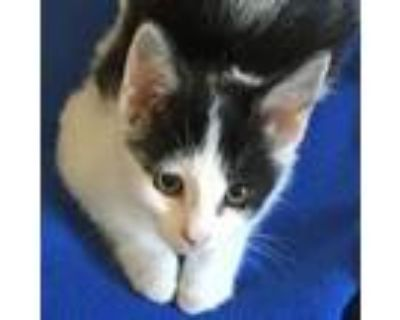Adopt Cougar a White (Mostly) Domestic Shorthair (short coat) cat in Walnut