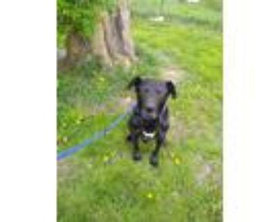 Adopt Uncle Sam a Black Labrador Retriever / Mixed dog in indianapolis