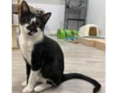 Adopt Elmer a All Black Domestic Shorthair / Mixed cat in Foley, AL (32568215)