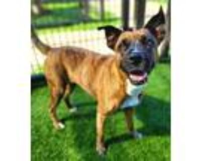 Adopt Lucy 449-21 a Brown/Chocolate Boxer / Mixed dog in Cumming, GA (31189814)