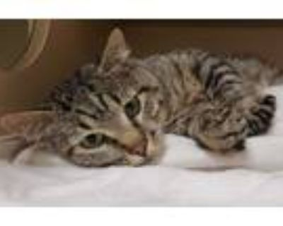 Adopt JIMMY a Brown Tabby Domestic Shorthair / Mixed (short coat) cat in Denver