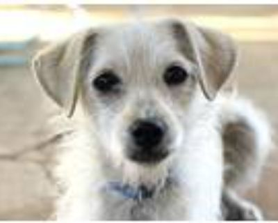 Adopt DWIGHT a Tan/Yellow/Fawn - with White Miniature Schnauzer / Terrier