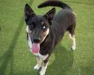 Adopt KYLO REN a German Shepherd Dog, Siberian Husky