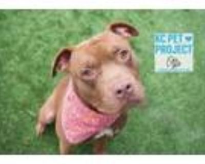 Adopt Otto a Pit Bull Terrier, Mixed Breed