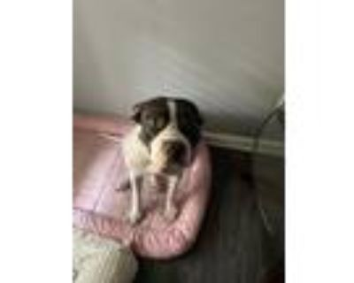Adopt Dice a Black - with White American Pit Bull Terrier / Boxer / Mixed dog in