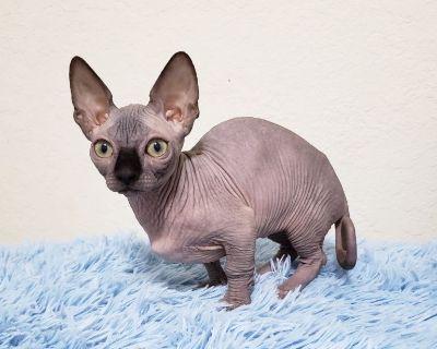 Bambino (short legs) black kitten