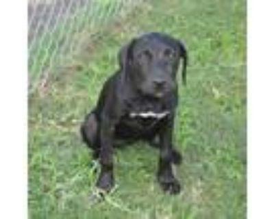 Adopt PENELOPE a Black Labrador Retriever / Mixed dog in Texas City