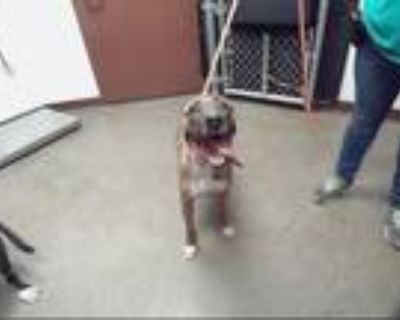 Adopt JANET a Pit Bull Terrier