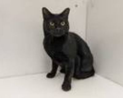 Adopt Java a All Black Domestic Shorthair / Mixed cat in Boulder, CO (32105433)