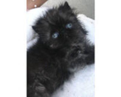 Persian Kittens Boy & Girl. Beautiful & very loving. Has