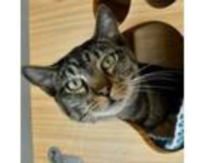 Adopt Lucille Veal a Domestic Short Hair