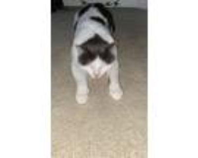 Adopt Xander a White (Mostly) Domestic Shorthair / Mixed (short coat) cat in