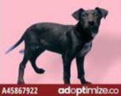 Adopt DISNEY a Labrador Retriever / Border Collie / Mixed dog in El Paso