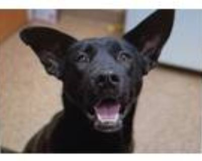 Adopt Harley a Black - with White German Shepherd Dog / Boxer / Mixed dog in