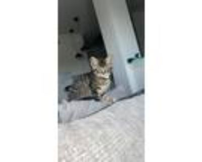 Adopt Levi a Gray, Blue or Silver Tabby American Shorthair / Mixed (short coat)