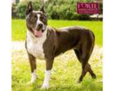 Adopt Chyna a Black - with White Bull Terrier / American Staffordshire Terrier /