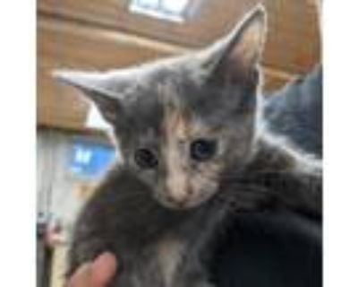 Adopt Sasha a Gray or Blue Domestic Shorthair / Mixed cat in Northbrook